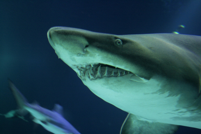 Australia, squalo bianco divora sub
