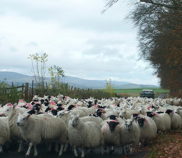 Foggia, pecore invadono la strada: morti e feriti
